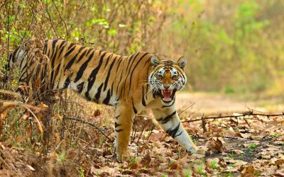 Jungles of Kanha & Pench